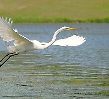 Egret by NVSphoto