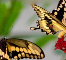 Tiger Swallowtail Courtship Sticker