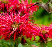 Hummingbird on Bee Balm Sticker