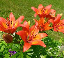 Loads Of Blooms.... Tiger Lilies by MaeBelle