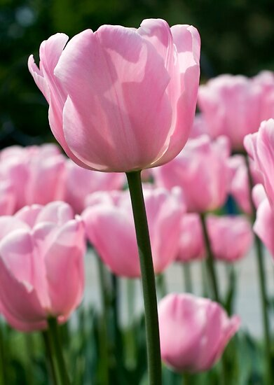 Pink Tulip by jenndes