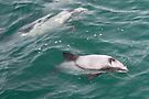 Hector's Dolphins by Werner Padarin