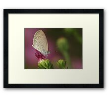 Butterfly on a pink daisy bud Framed Print