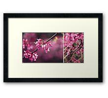Judas Tree flower study Framed Print