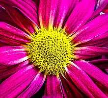 Pink with Yellow Center  by Sherri Fink