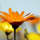 Namakwaland Daisies by Antionette