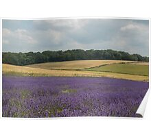 A field of lavender in the Sussex countryside Poster