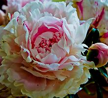 Peony Bloom by KSKphotography