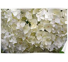 White small beautiful flowers texture. Poster