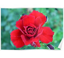 Red rose on a green background. Poster