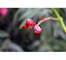 Small red flower bud, natural background. Photographic Print