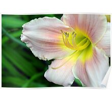 White hibiscus flower. Poster