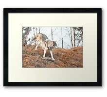Wolf roaming Framed Print
