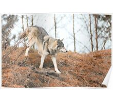 Wolf roaming Poster