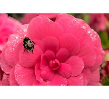 Bee on the flower Photographic Print