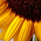 sunflower unveiled by lensbaby