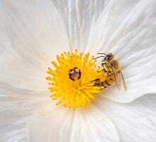 Bee On A Poppy by Leigh Anne Meeks