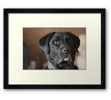 Male Labrador Dog Framed Print