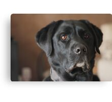 Male Labrador Dog Canvas Print