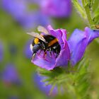 White Tailed Bumblebee by GreyFeatherPhot