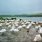The Swannery in Dorset by AnnDixon