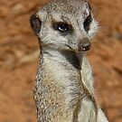 Meercat by robmac