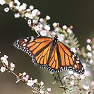 The Monarch by robmac
