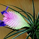 Bromelia - Tillandsia cyanea  by bubblehex08