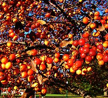 Orange Crabapples by Mary Ellen Tuite Photography