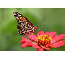 Butterfly on Zinnia Photographic Print