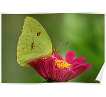 Yellow Butterfly on Pink Zinnia Poster