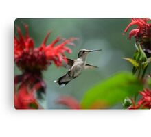 Hummingbird Flying Canvas Print