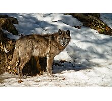 Black Wolf In Snow Photographic Print