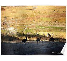 Australian emus and kangaroos at sunrise Poster