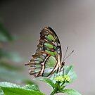 Butterfly by letterw