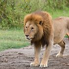 Adult Masai Lion (Panthera leo massaica) by Yair Karelic