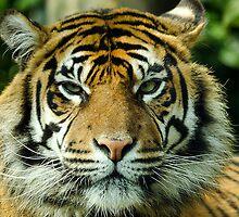 Amur Tiger Eyes by Darren Wilkes