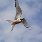 Arctic Tern in flight by M.S. Photography/Art