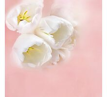 Tulips over pink Photographic Print