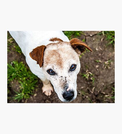 The old Jack Russel  Photographic Print