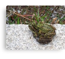 Mating Toads out of water  Canvas Print