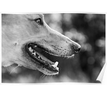 Dog, Head Closeup, Black & White Poster