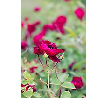 A Rose by any other name.. Photographic Print