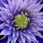 Clematis blue bloom by RosiLorz