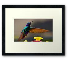 Tom Thumb Is A Sparkling Violetear Framed Print
