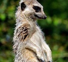 Bemused Meerkat by Barnbk02