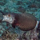 Rockmover Wrasse by Mark Rosenstein