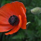 Poppy Love.....say something!!! by Poete100