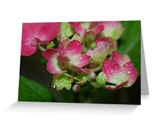 pink african violets Greeting Card