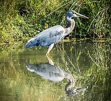 Great Blue Heron by RandyHume